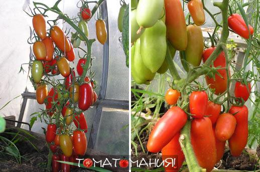 Сорт томатов Каспар F1