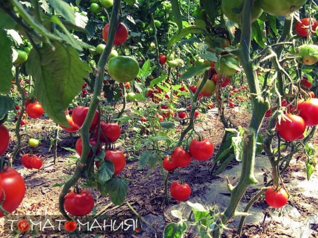 Как помидоры растут на кустах?