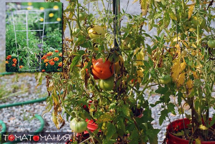 Выращиваем помидоры в клетке в ведре