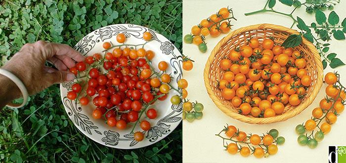 Дикие томаты для корзин