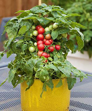 Ампельные томаты