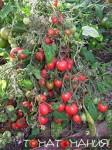 Садовая жемчужина сорт томатов