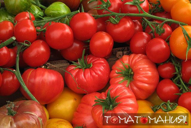 Сорта гибридов помидоров