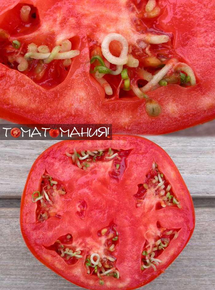 семена проросли в помидоре