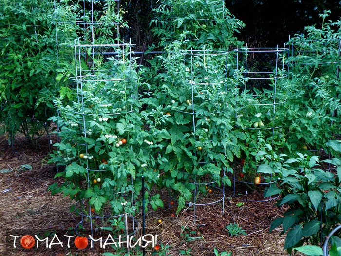 Зачем и как обрывать листья у томатов