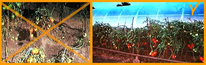 Выращивание томатов. Хорошие урожаи томатов при любой погоде.