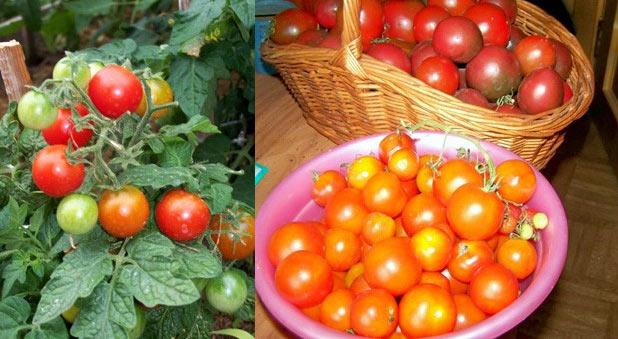 Ампельные томаты черри сорт Пиноккио