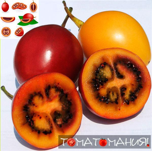 Цифомандра (Тамарильо) - томатное дерево: выращивание и применение