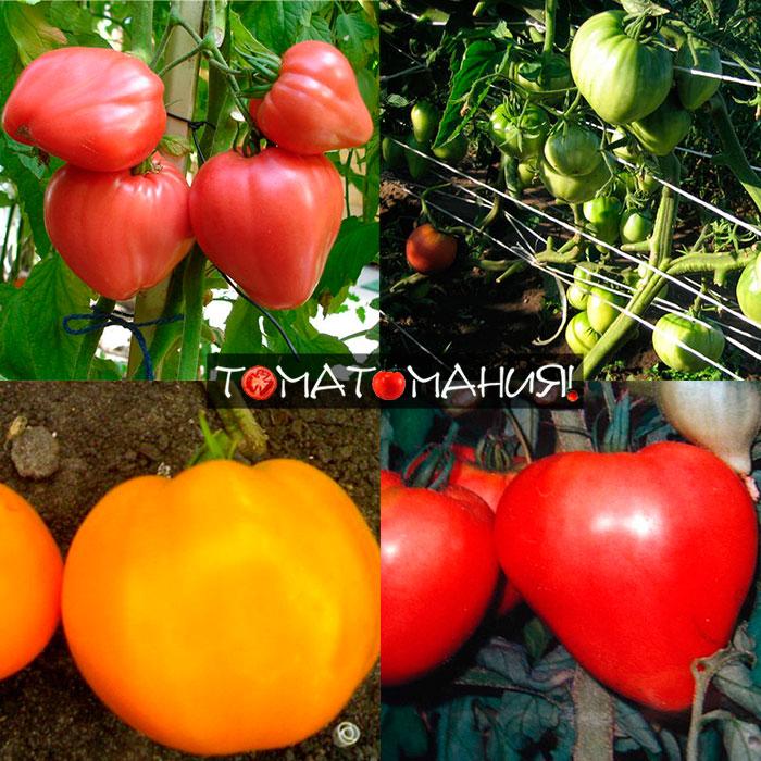 отзывы о помидоров сорта Бычье сердце