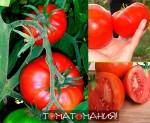 Характеристики помидоров сорта Космонавт Волков