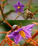 Цветы ядовитого томата