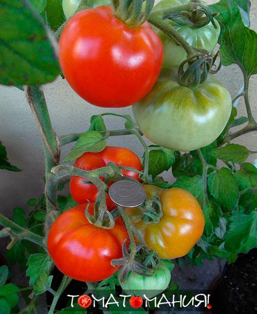 Характеристики помидоров сорта Сибирский скороспелый отзыв