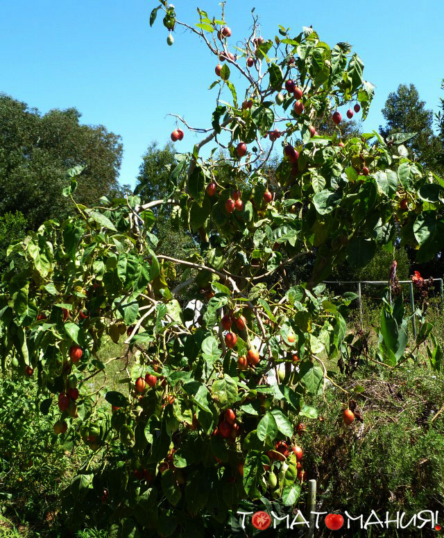 Цифомандра (Тамарильо) - томатное дерево