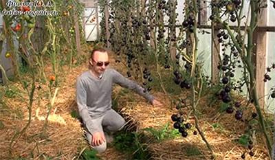 томаты сорт черная гроздь в теплице