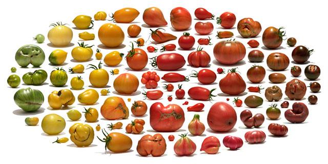 Tomato fruit diagram