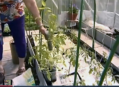 Галина Кизима как выращивать томаты видео