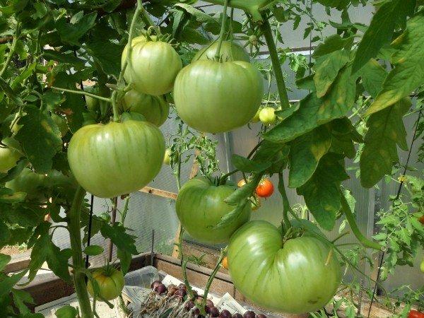 выращиваем томаты без полива