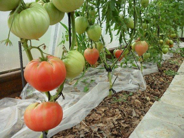 помидоры без полива кизима