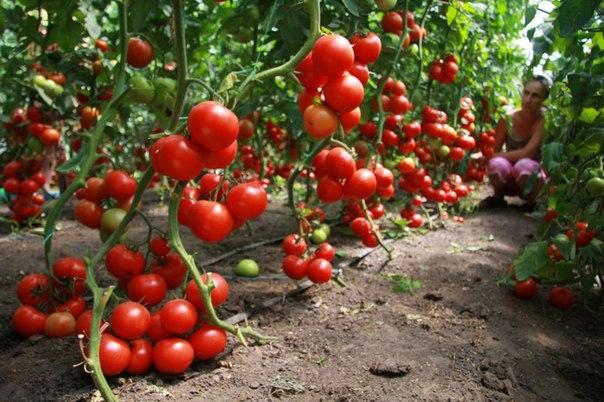 помидоры +без полива