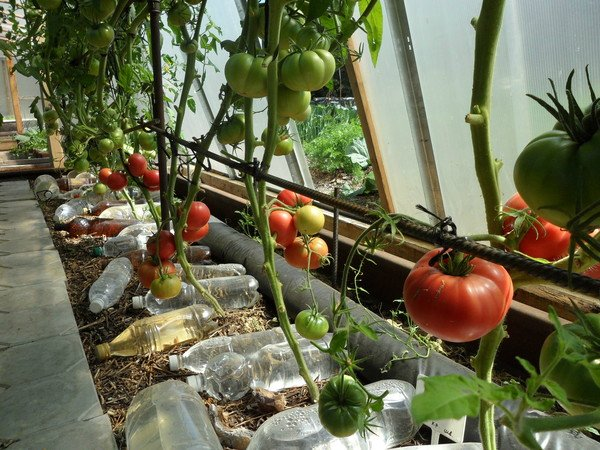 томаты +без полива удачные советы