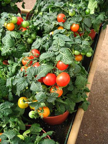 помидоры в горшке