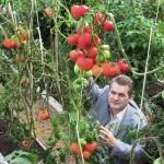 Томаты в солнечном био-вегетарии