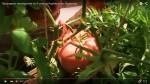 сорт томатов шаман
