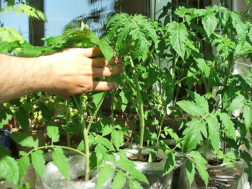 посев рассады томатов в пакеты