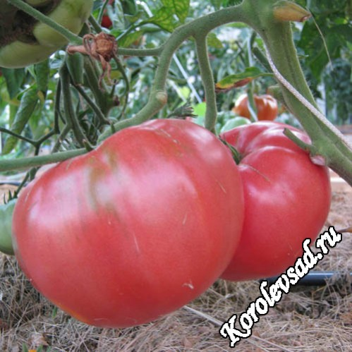 Сорт томатов с плодами малинового цвета Казанский