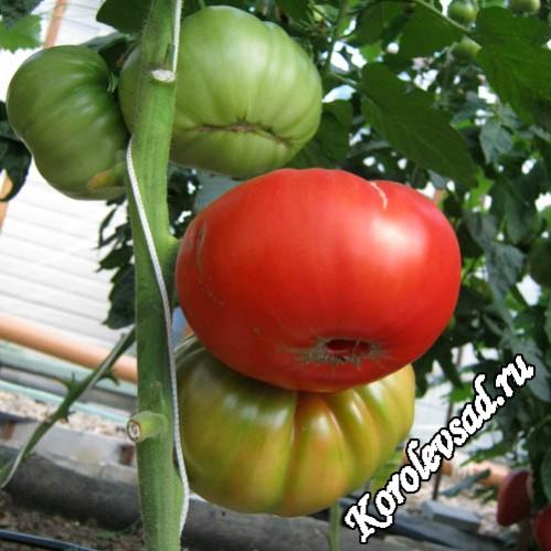 Крупный вкусный сорт томатов Куум