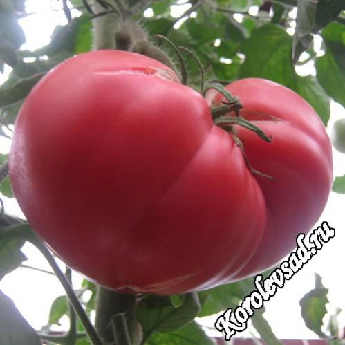 Сорт томатов с плодами малинового цвета Малиновый гигант