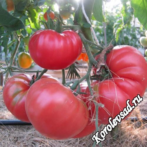 Мексиканец - крупноплодный салатный сорт томатов розового цвета