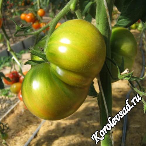 Немецкий зеленый тети Руби Крупноплодный сорт томатов с плодами зеленого цвета