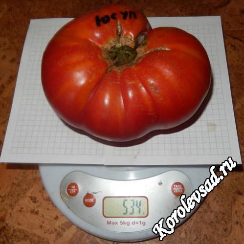 сорт юсуповские томаты узбекистан