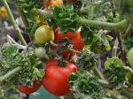 81 сорт томатов в 1 видео
