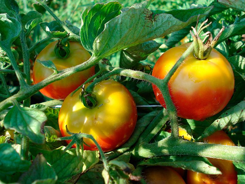 желтое расстройство томатов
