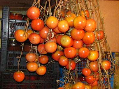 Мы, томатоманы, теперь точно знаем, какой сорт выбрать для посадки в новом 2019 году, чтобы всю следующую зиму наслаждаться своими помидорками!