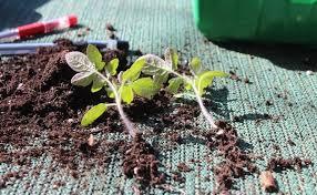 пикировка рассады томатов обрезка корня