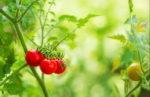Томаты защищаются от бактерий запахом! Противобактериальный запах помидоров